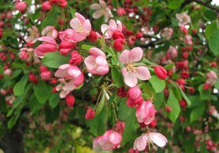 105 15 Apr blossom red