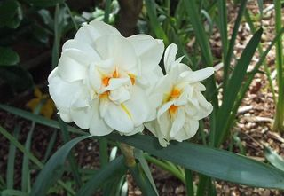 114 24 Apr narcissus red
