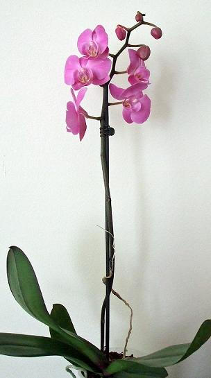 112 22 Apr orchid red