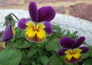 113 23 Apr pansy red