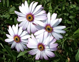 142 22 May marguerites red