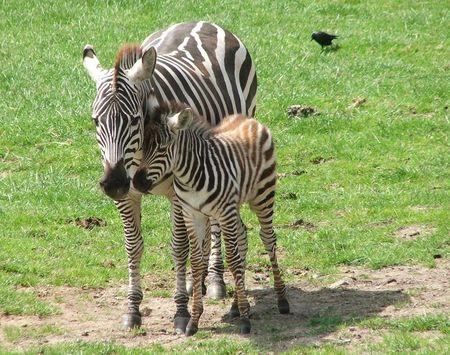 Zebra 3 red