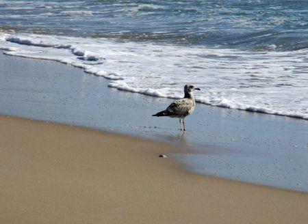 Gull-1