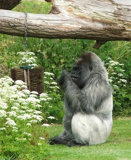 Gorilla 1 red