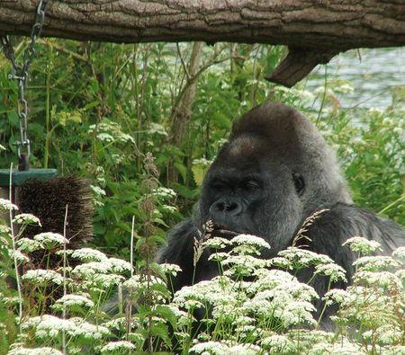 Gorilla 2 red