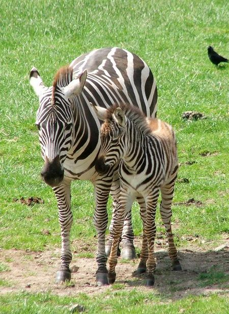 Zebra 2 red