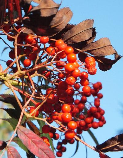 Hillier-berries-1