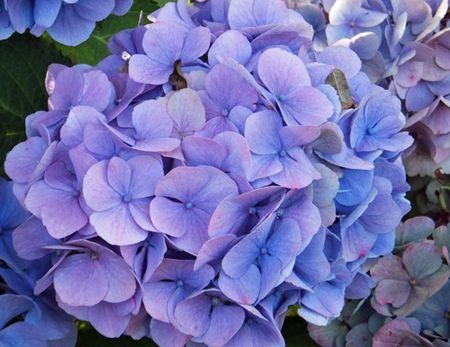 Hydrangea-lilac