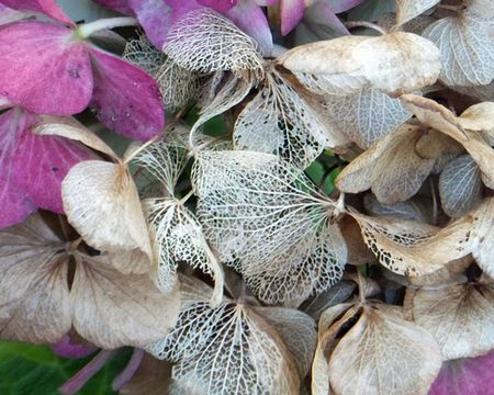 Hydrangea-lace