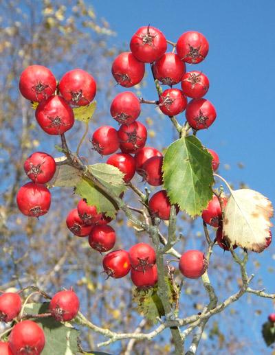 Hillier-berries
