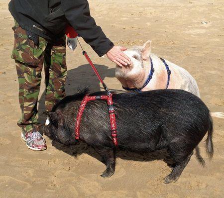Pig-walking-2
