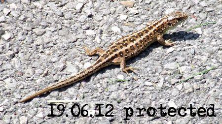 171-Lizard