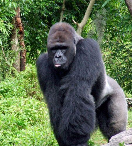 Ak-gorilla