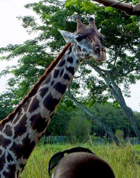 Ak-giraffe