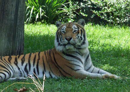 Ak-tiger