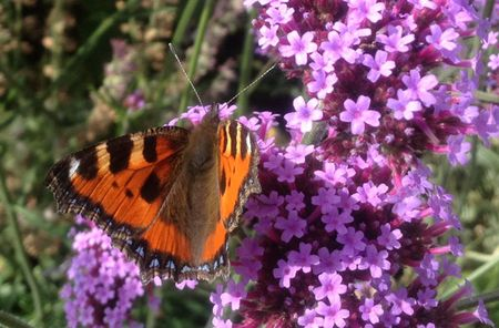 Lytes-butterfly-2