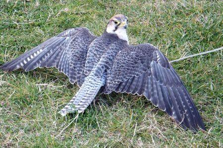 Birds-falcon-mantle