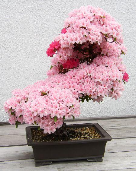 Amazing-bonsai-trees-1-1-5710e7828a6d0__700