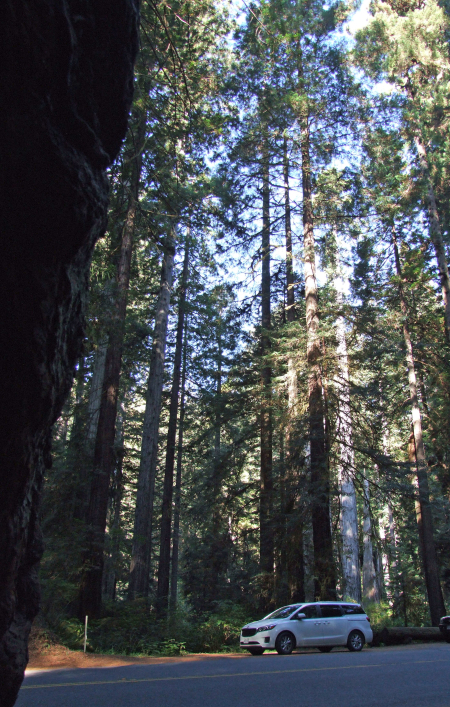 8 redwood 2