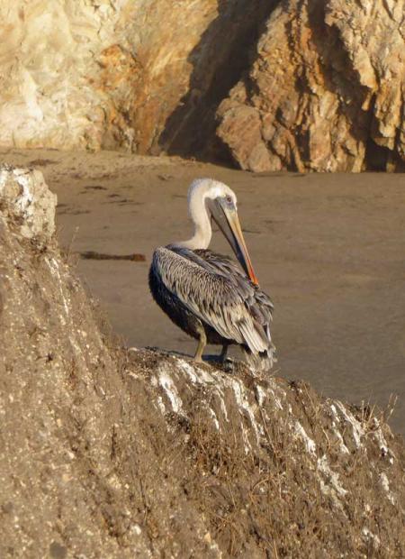 11-pelicans-5