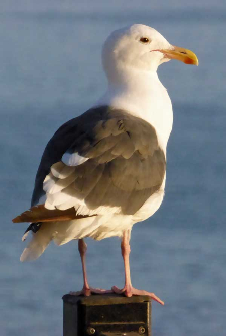 11-gull-2