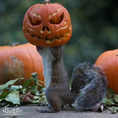 Squirrel-steals-carved-pumpkin-max-ellis-3