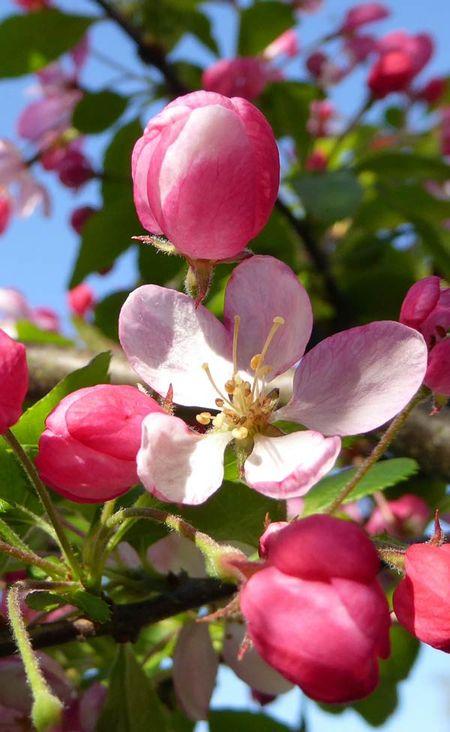Blossom-1