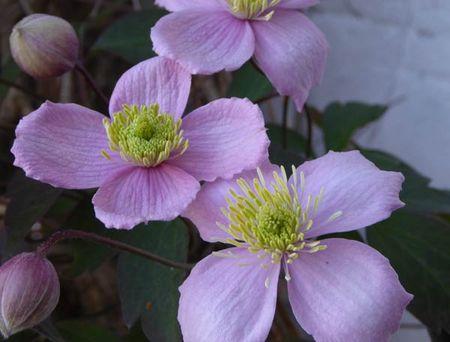 Blossom-8