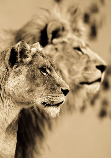 Big-cats-ive-spent-10-years-photographing-these-wild-and-loving-creatures-8__880