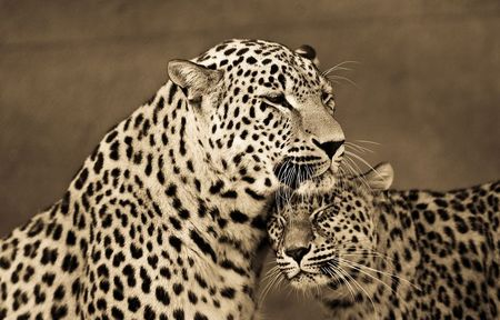 Big-cats-ive-spent-10-years-photographing-these-wild-and-loving-creatures-3__880