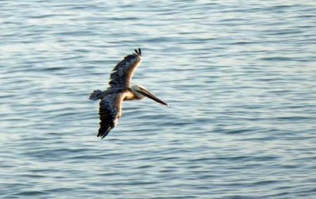 11-pelican-1