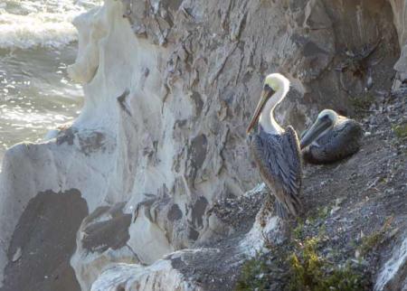 11-pelicans-1