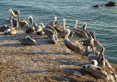 11-pelicans-6