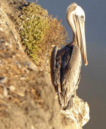 11-pelicans-2