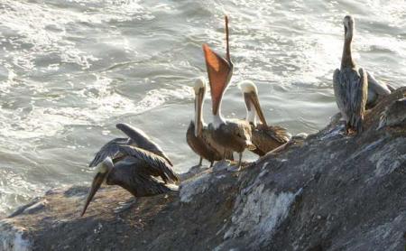 11-pelicans-3