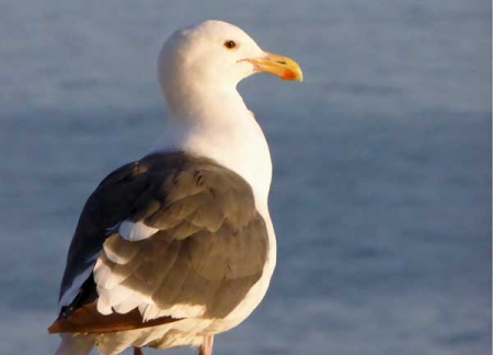 11-gull-1