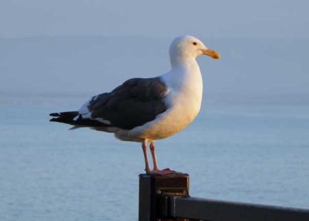 11-gull-3