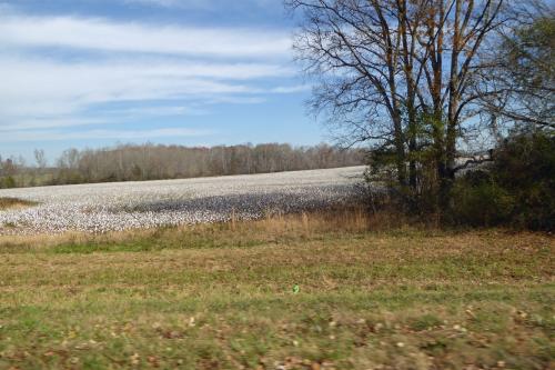 01 cotton fields