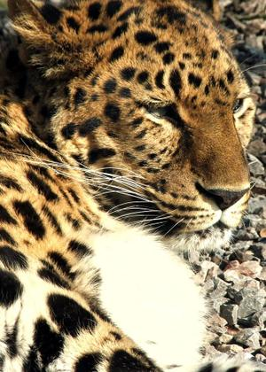 Leopard_profile_red